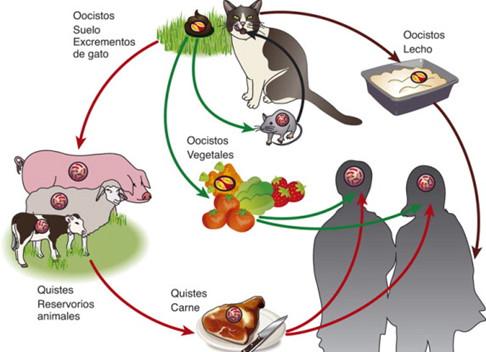 Como se contagia la toxoplasmosis a los seres humanos